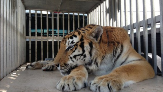 Огромный комок шерсти вытащили из желудка тигра