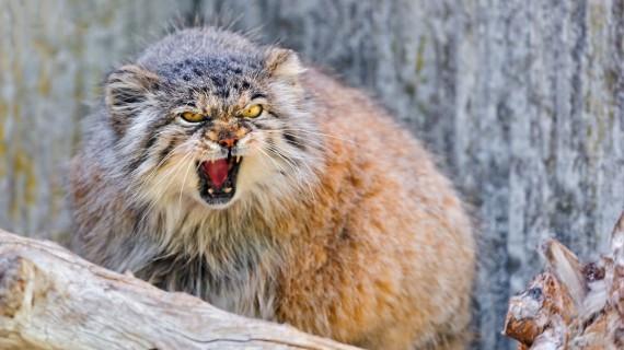 «Серьезный» кот под названием Манул