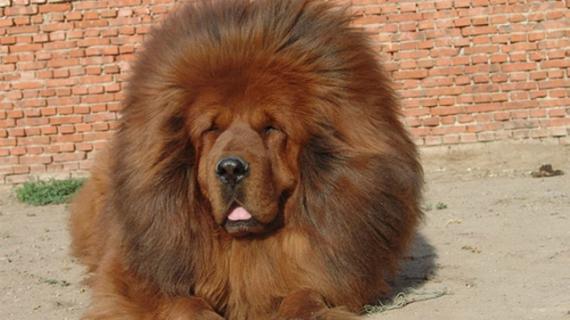Тибетский мастиф стал заменой льву в зоопарке