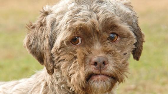 Собака с человеческим лицом живет в США