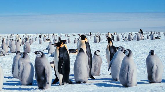 Императорский пингвин – уникальное животное Антарктиды